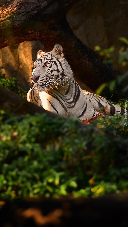 Czujny tygrys