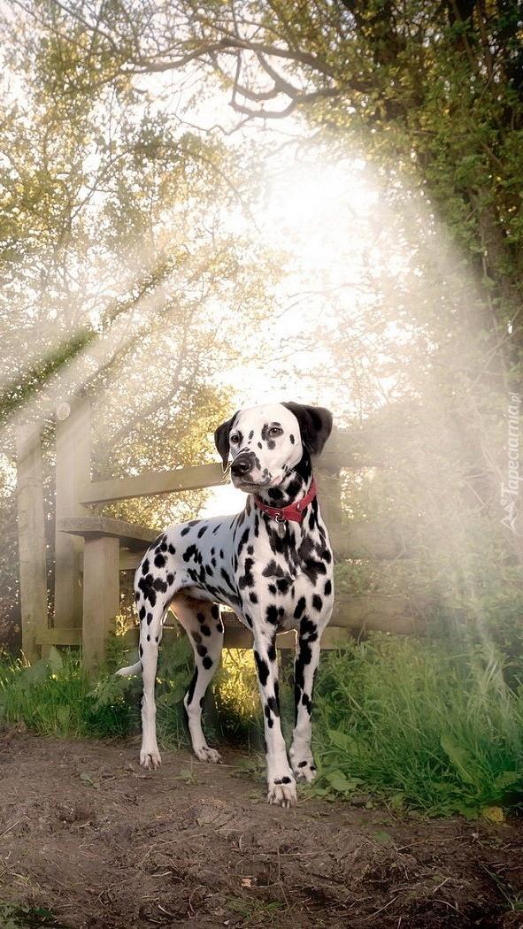 Dalmatyńczyk w świetle słońca