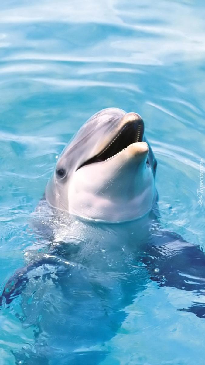 Delfin wynurzający się z wody