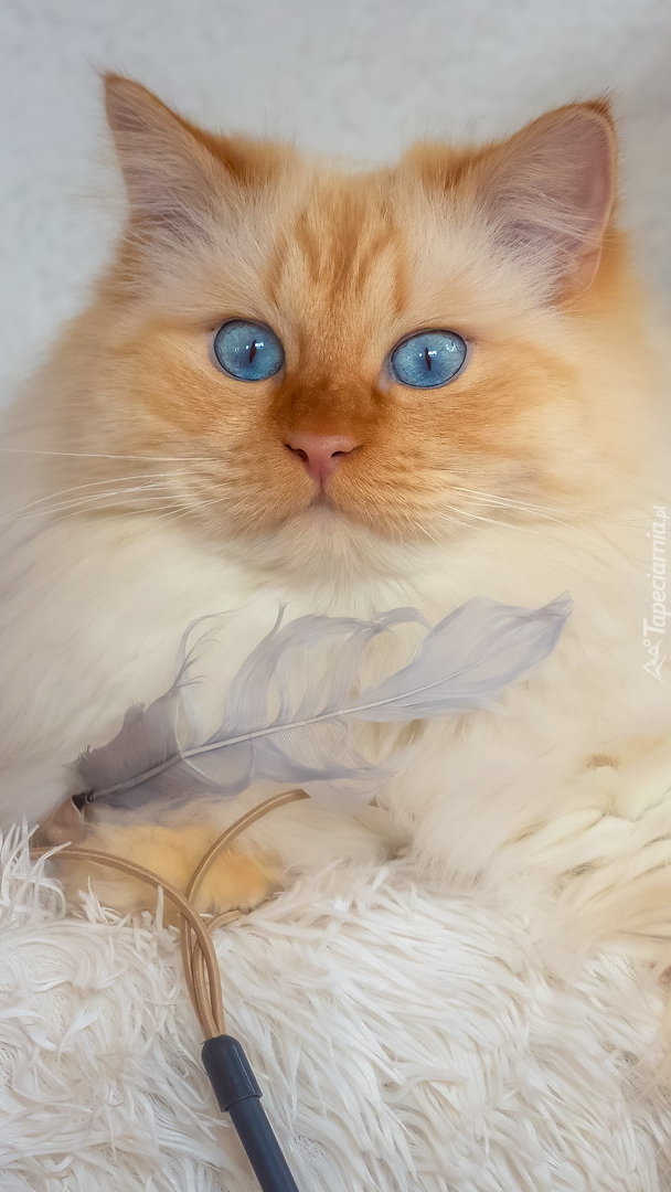 Długowłosy niebieskooki kot