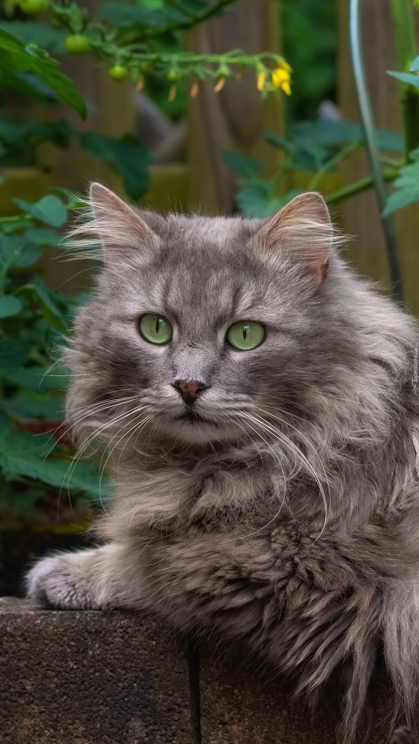 Długowłosy zielonooki kot