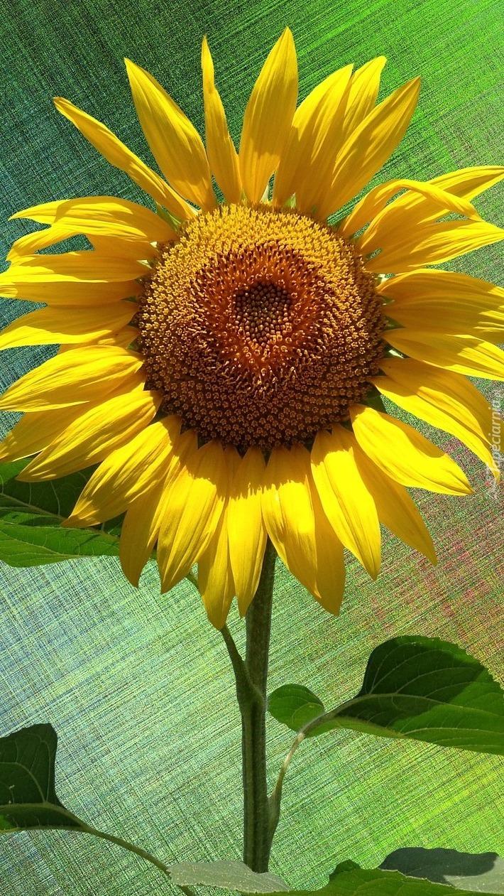 Dojrzały żółty słonecznik