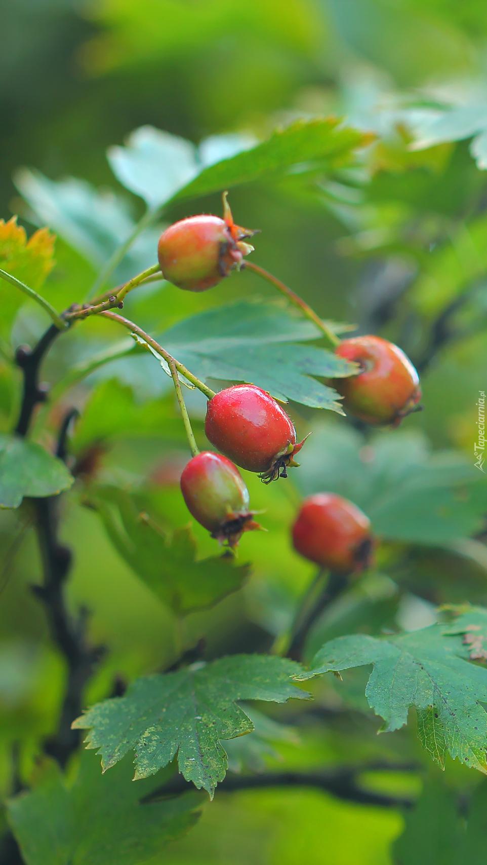 Dojrzewające owoce głogu