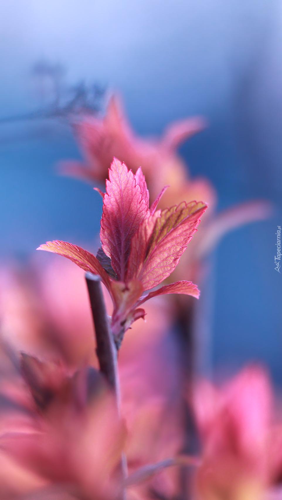 Drobne czerwone listki tawuły