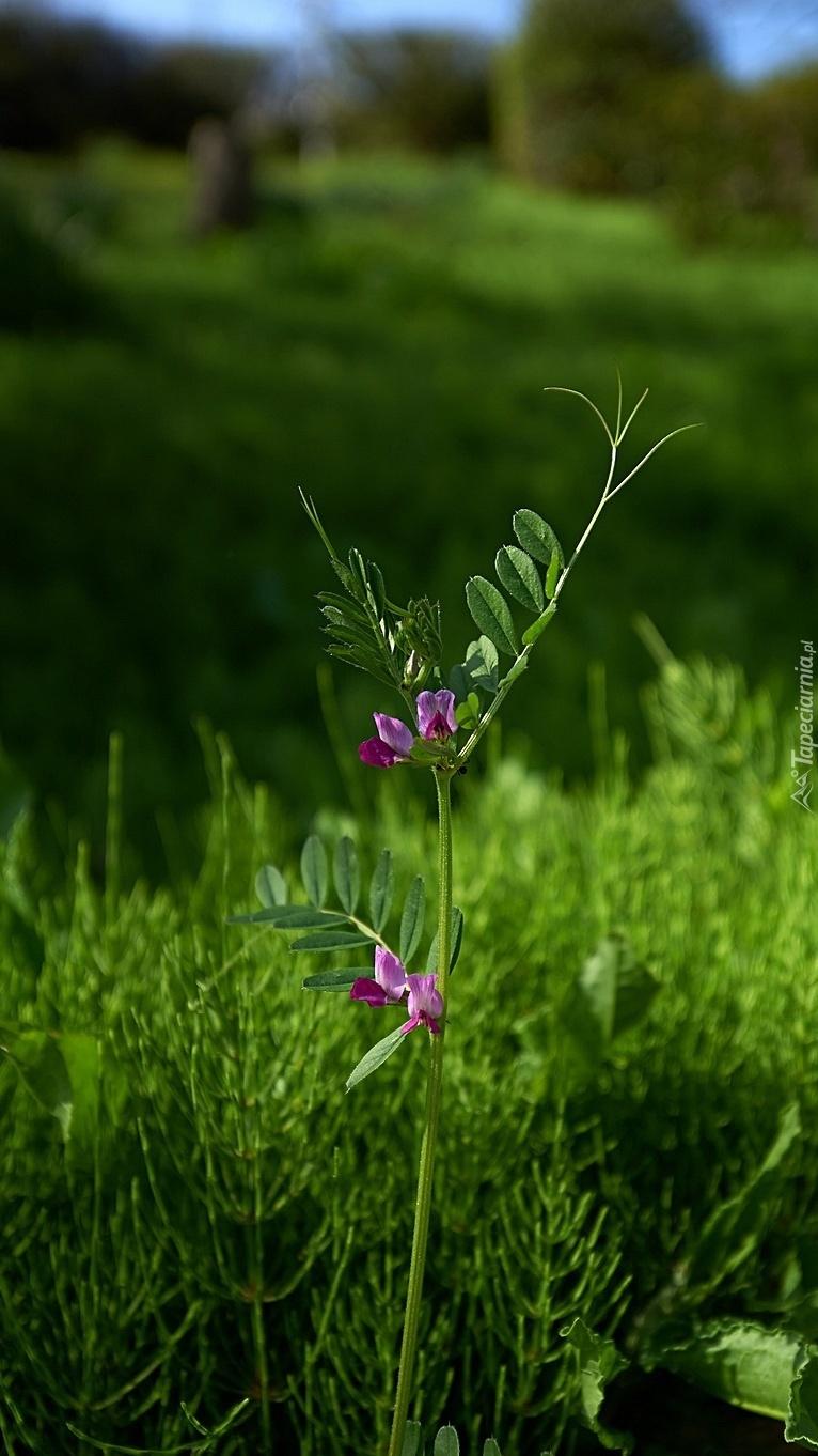 Drobne fioletowe kwiatki pośród zieleni