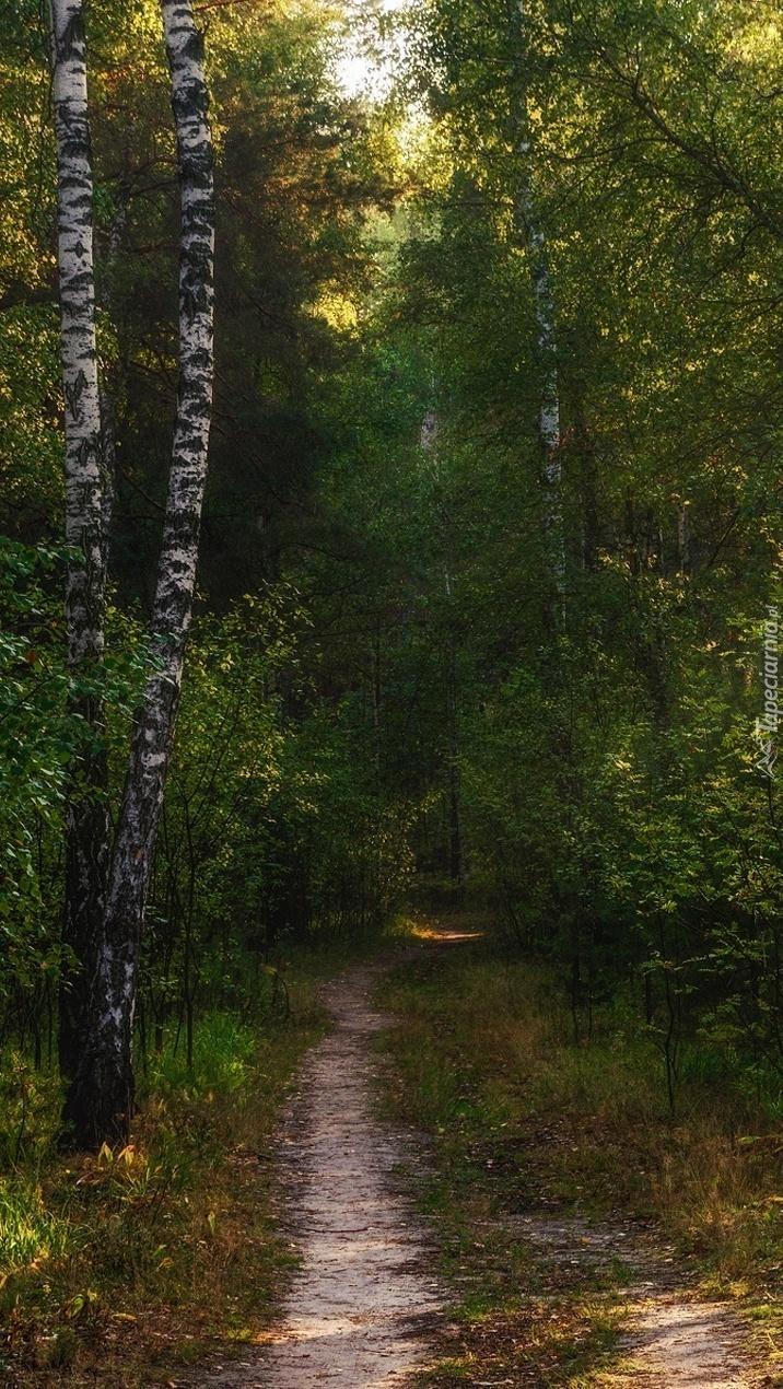 Droga między brzozami