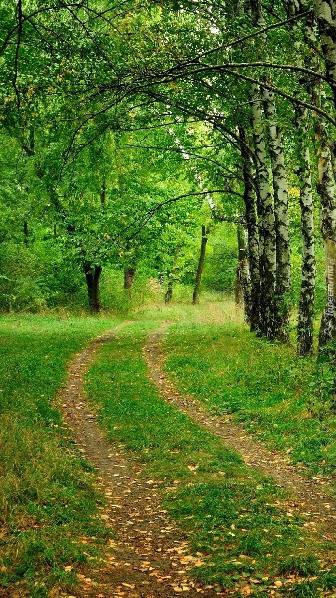 Droga w brzozowym lesie