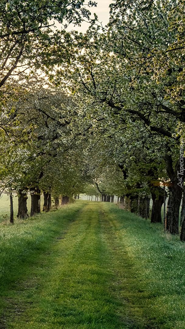 Droga wzdłuż kwitnących drzew