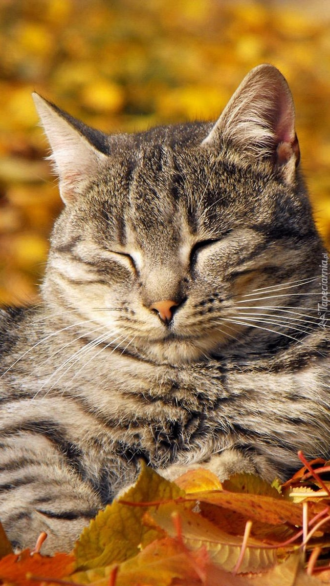 Drzemka kota w jesiennych liściach