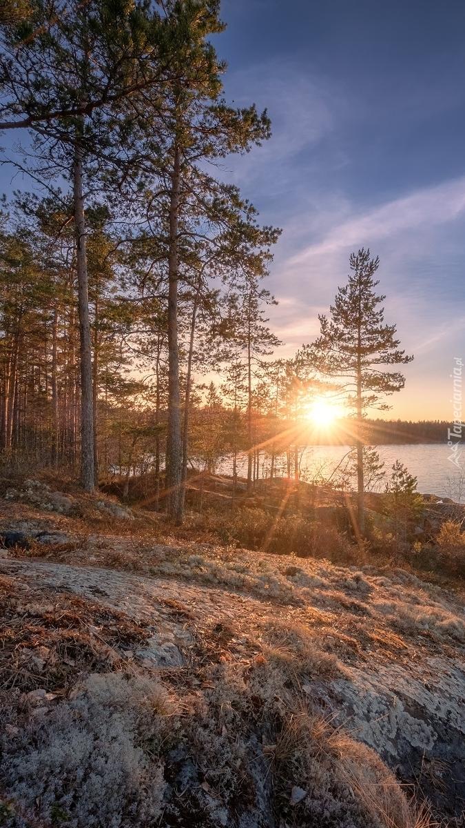 Drzewa na skałach nad jeziorem Ładoga