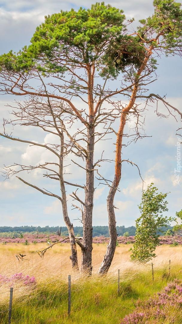 Drzewa na wrzosowisku Kalmthout Heath
