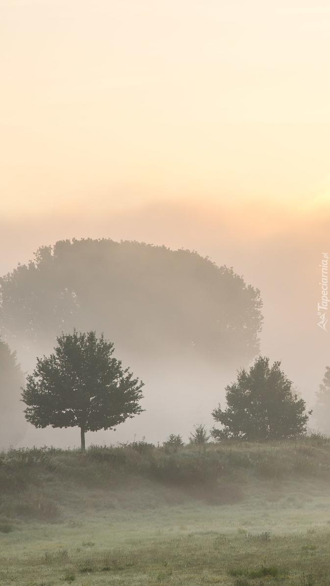 Drzewa na zamglonym polu