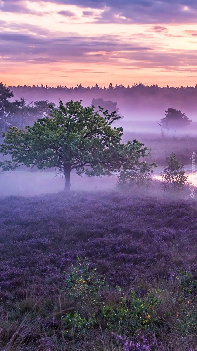 Drzewa na zamglonym wrzosowisku