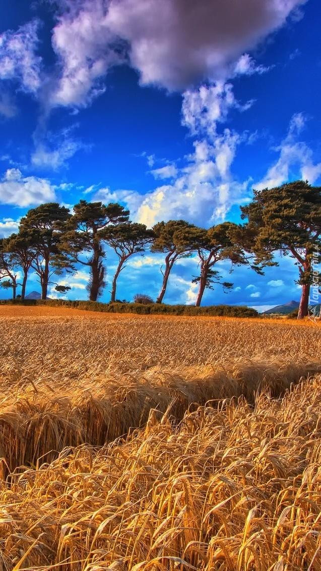 Drzewa nad łanem zbóż