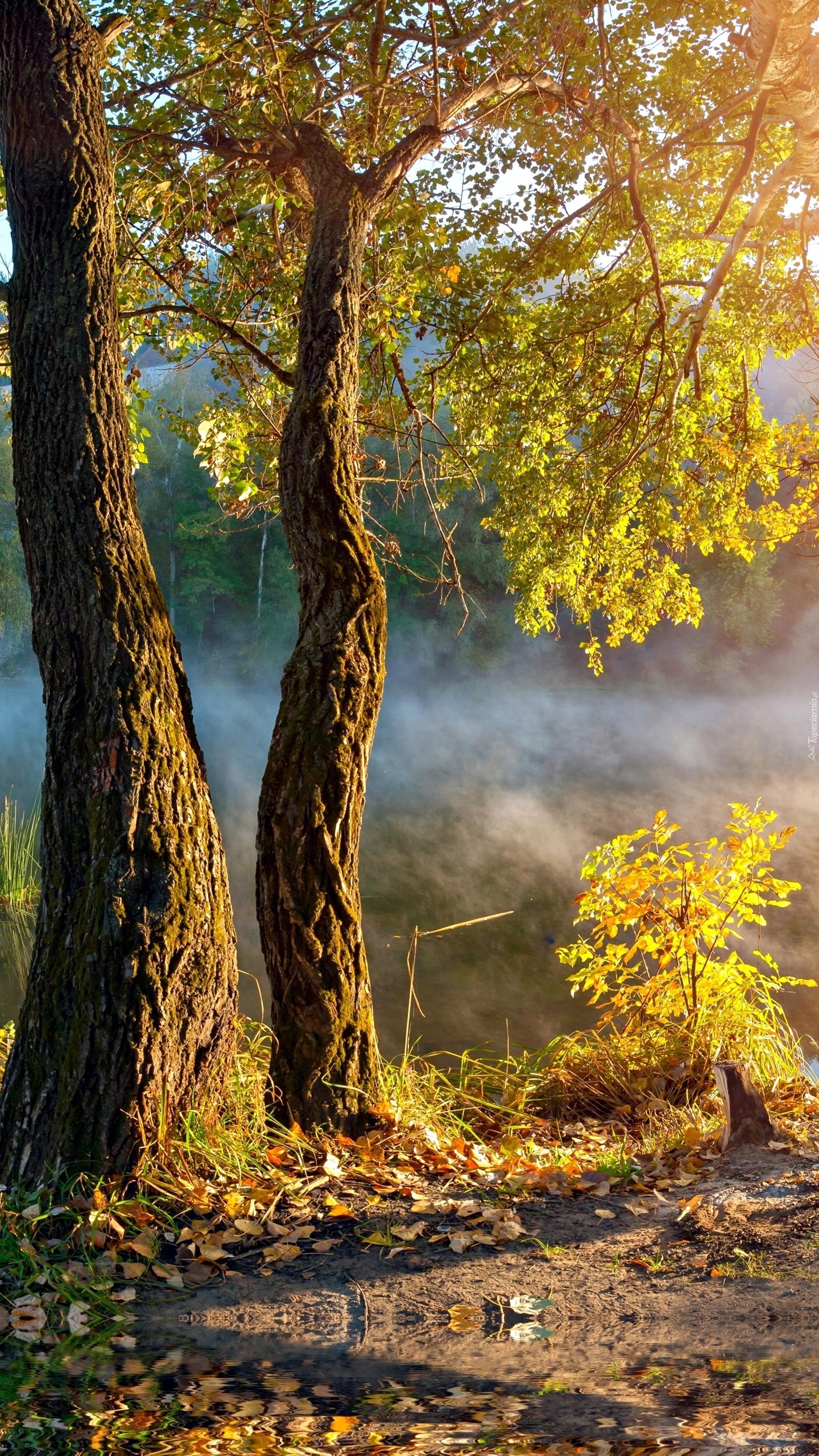 Drzewa nad zamglonymi bagnami