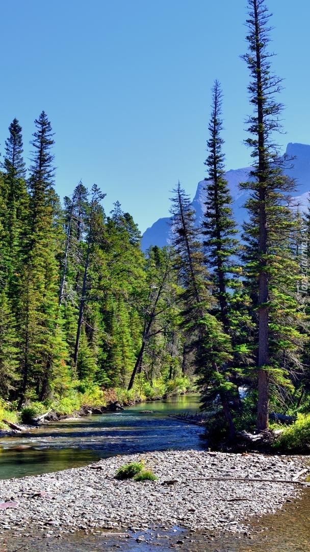 Drzewa w Parku Narodowym Glacier