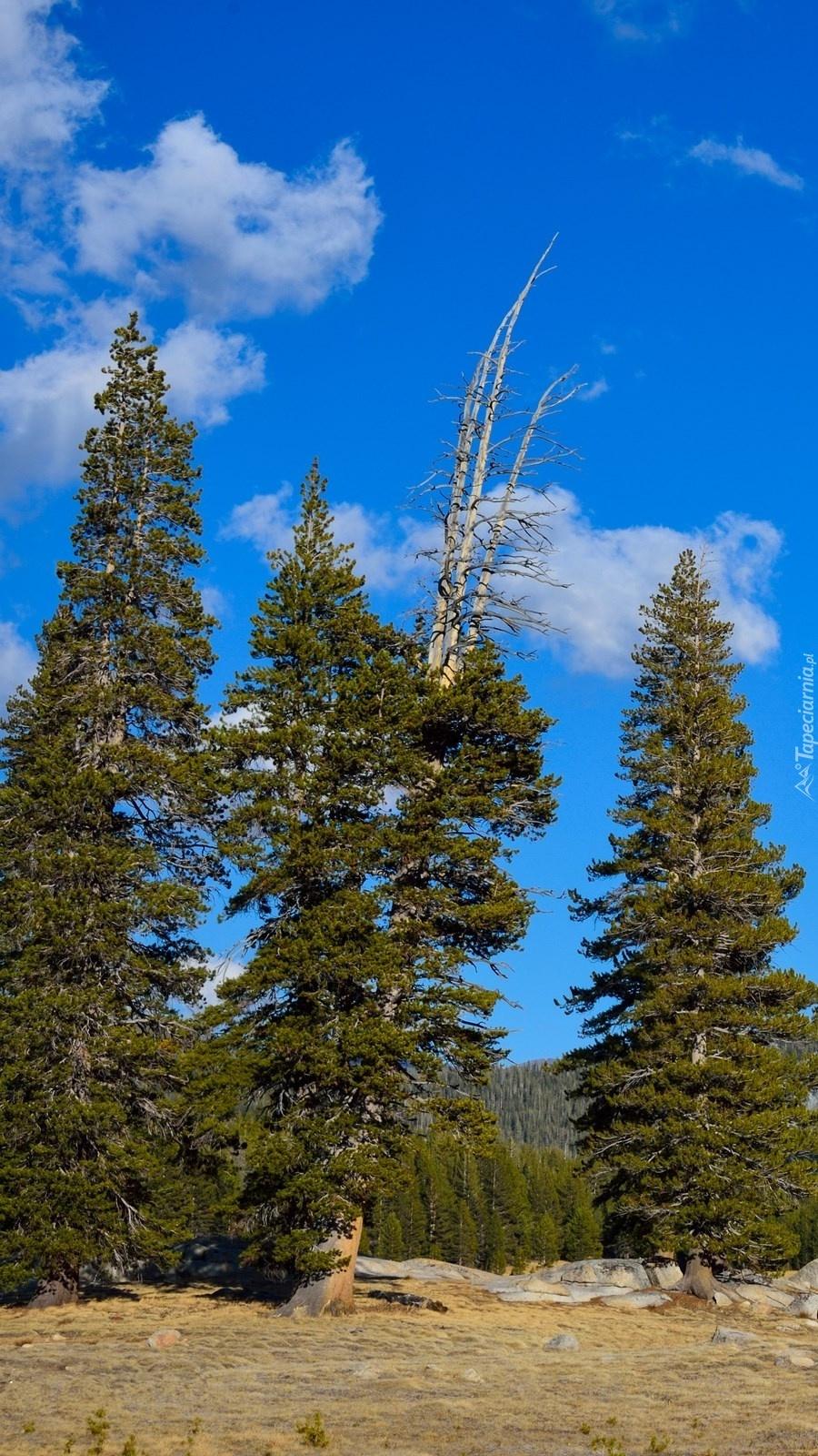 Drzewa w Parku Narodowym Yosemite