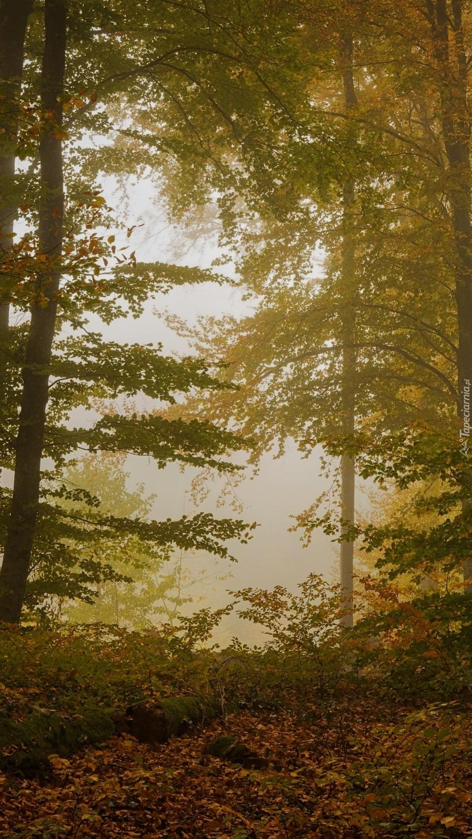 Drzewa w zamglonym jesiennym lesie