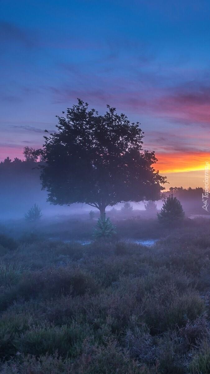 Drzewa we mgle na wrzosowisku