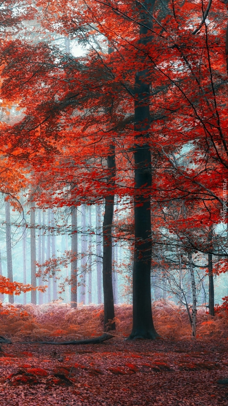 Drzewa z czerwonymi liśćmi