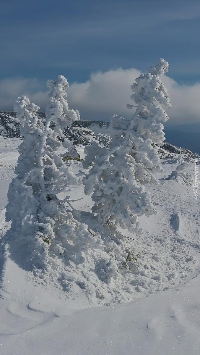 Drzewa zasypane śniegiem