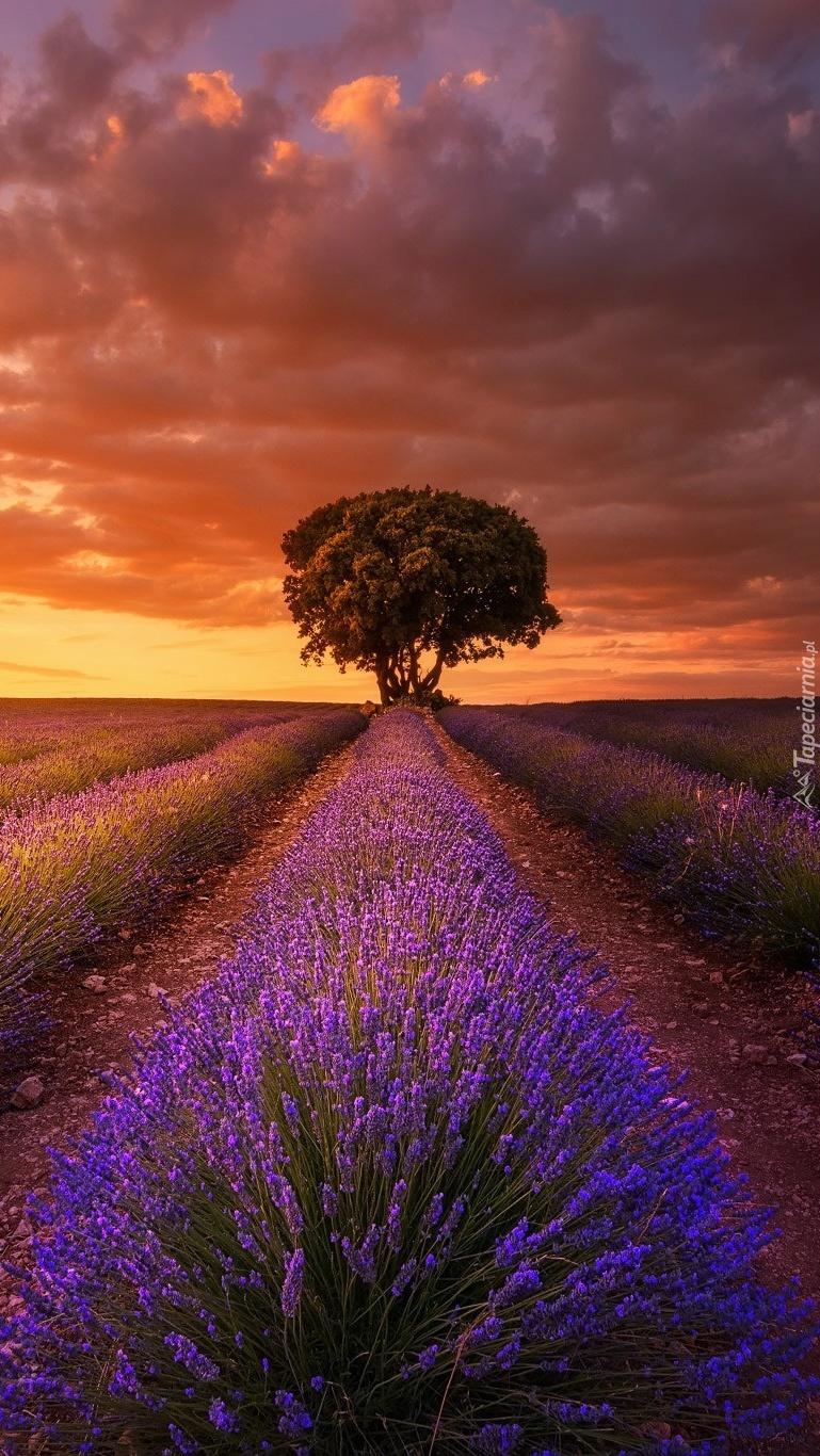 Drzewo na polu lawendy