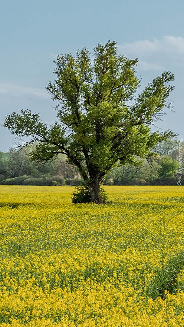 Drzewo na polu rzepaku