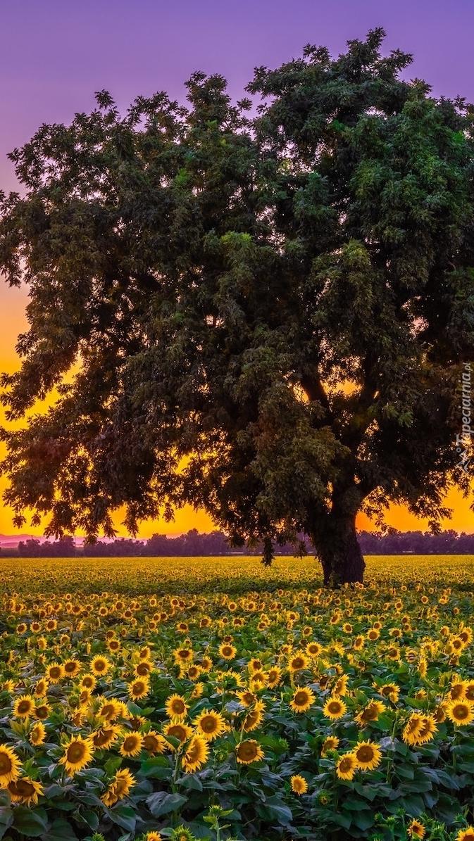 Drzewo na polu słoneczników