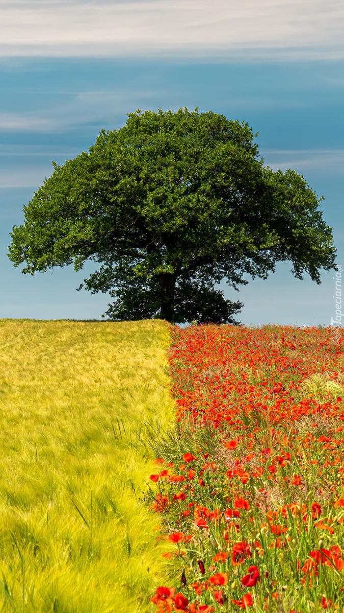 Drzewo na polu zboża i maków