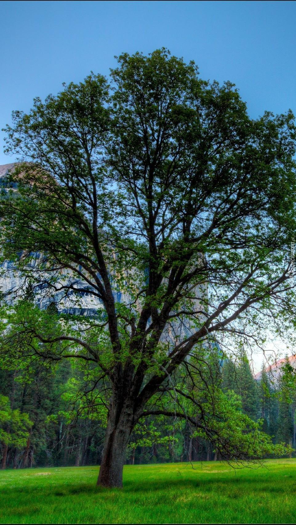 Drzewo w Parku Narodowym Yosemite