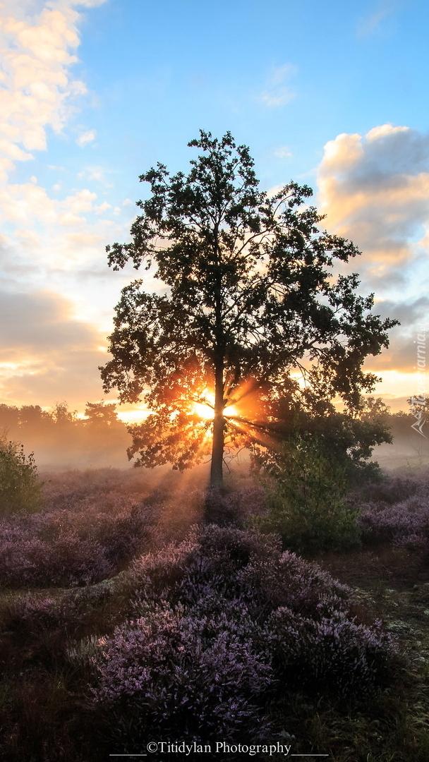 Drzewo w promieniach słońca na wrzosowisku