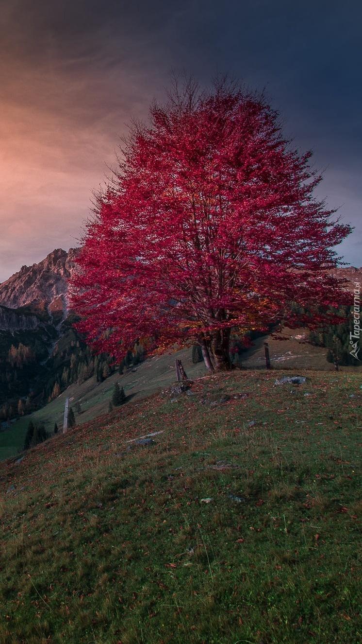 Drzewo z czerwonymi liśćmi