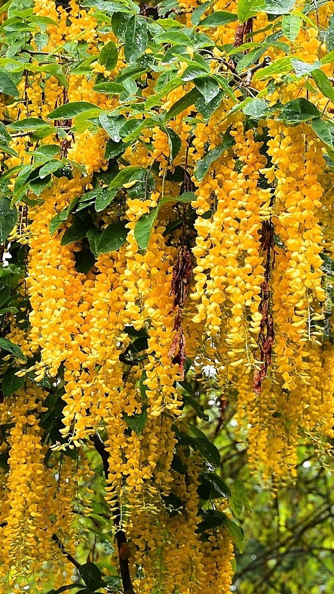 Drzewo złotokapu z żółtymi kwiatami