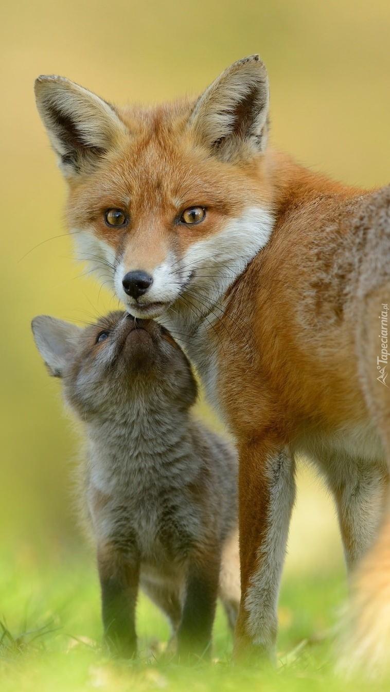 Duży i mały lis