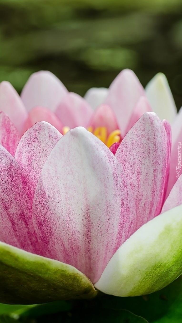 Duży kwiat lilii wodnej