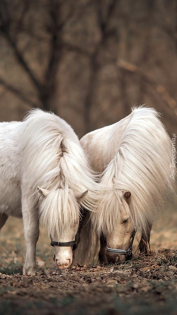 Dwa białe kucyki