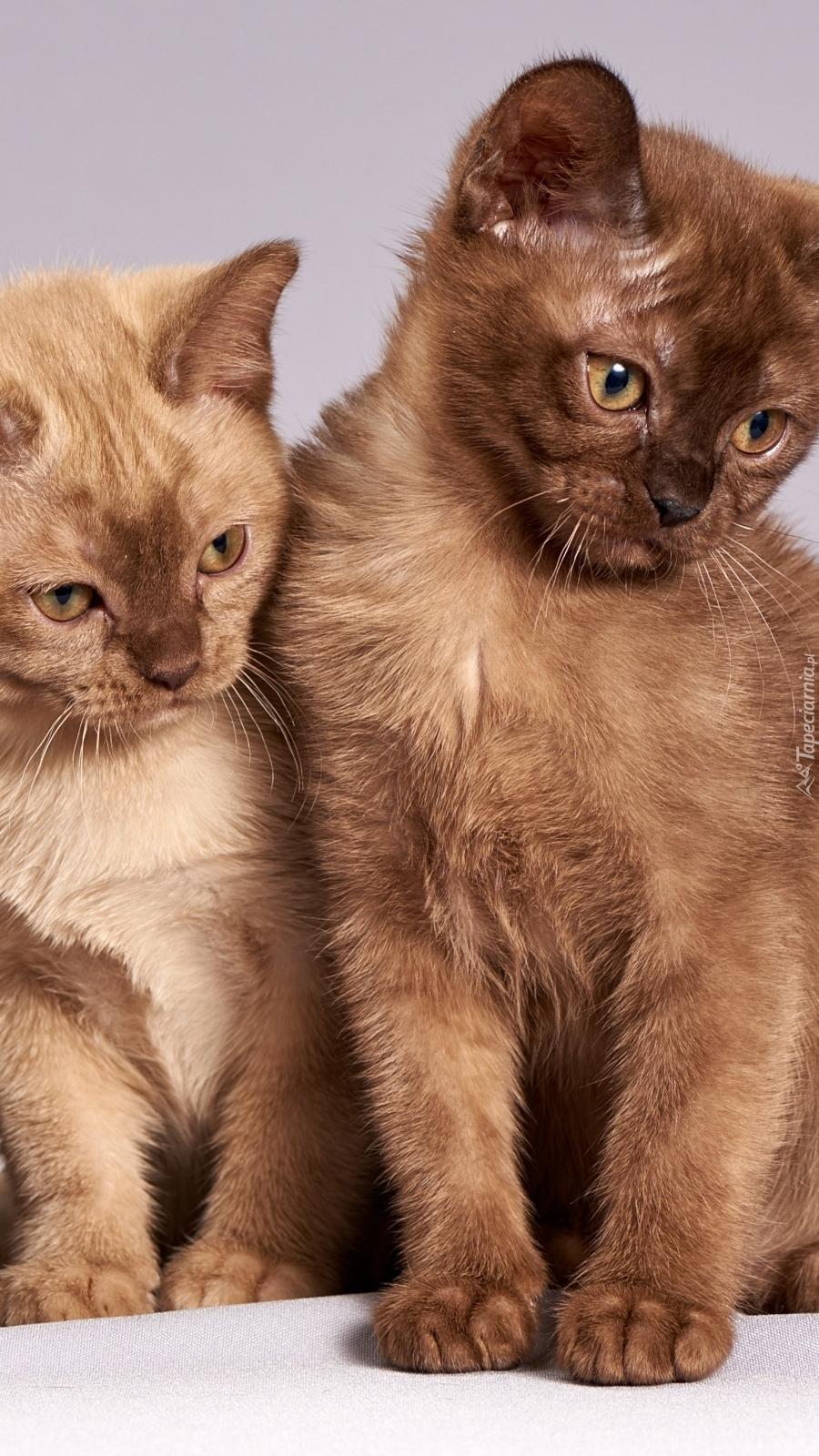 Dwa brązowe kotki