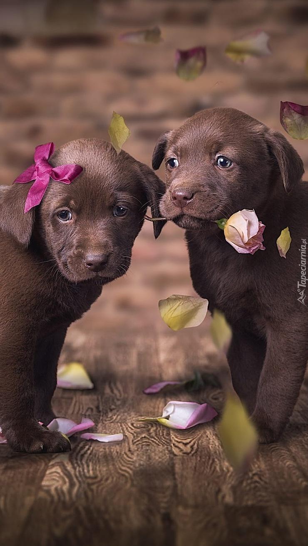 Dwa brązowe szczeniaki labradora retriever