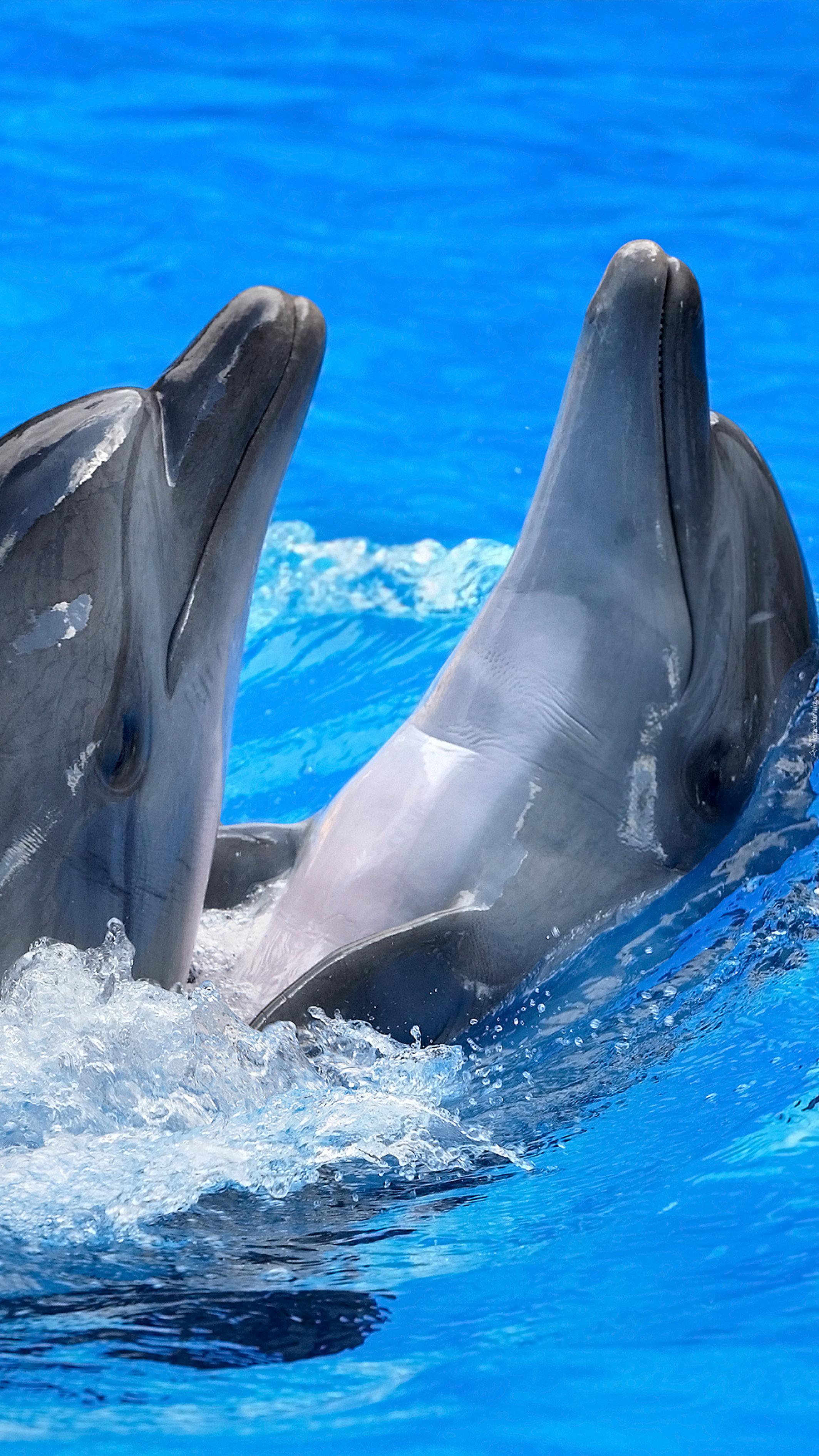 Dwa delfiny w wodzie