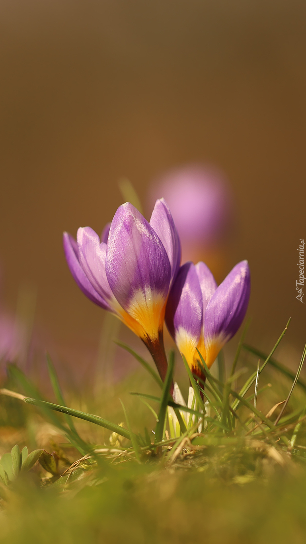 Dwa fioletowe krokusy