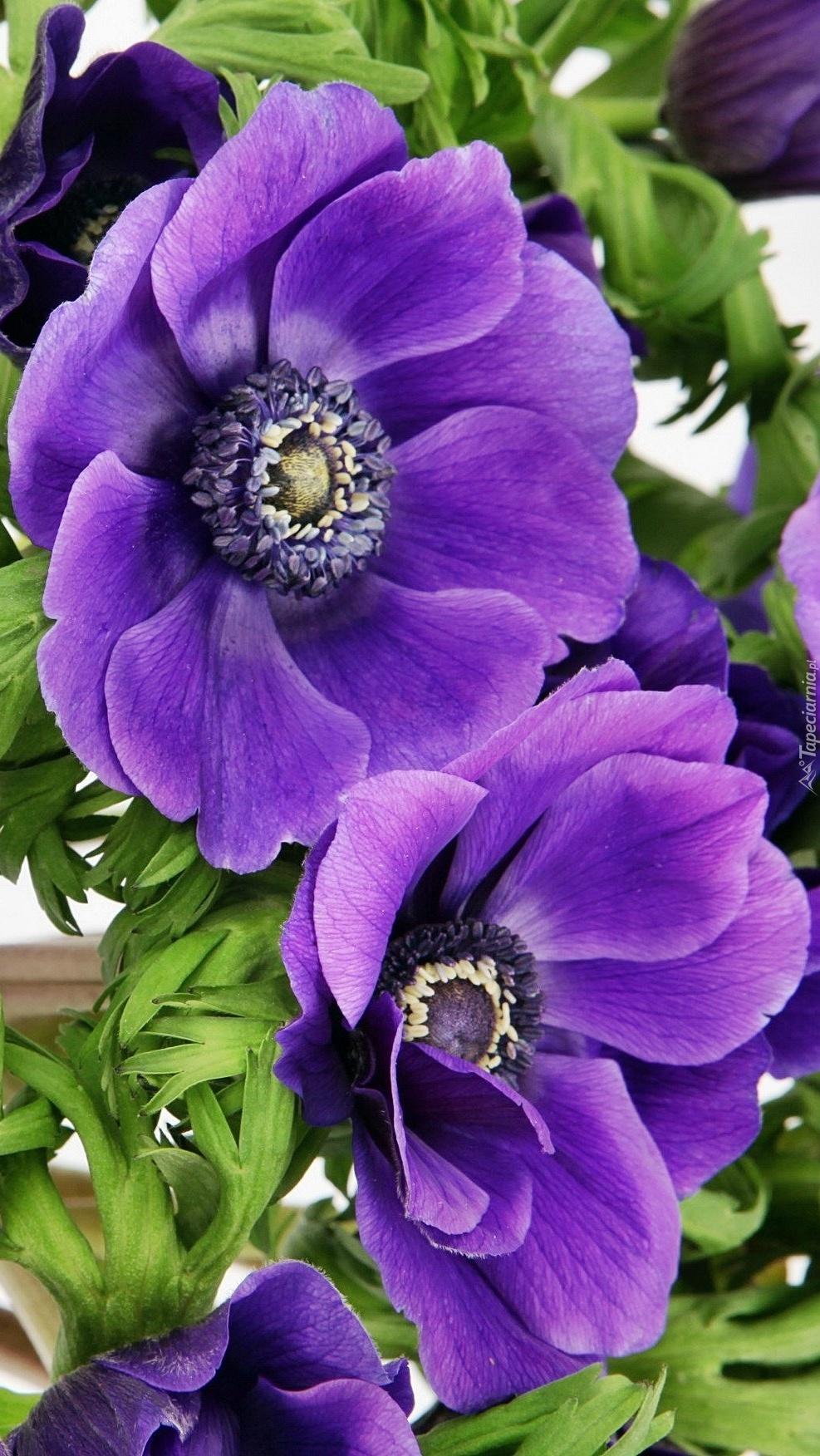 Dwa  fioletowe zawilce