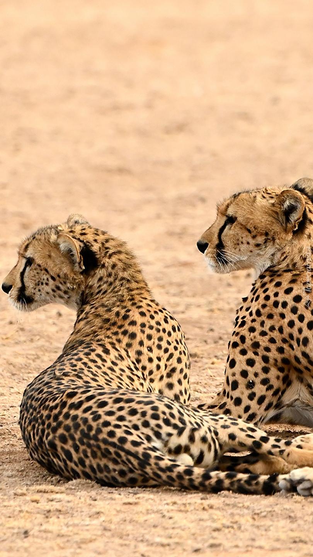 Dwa gepardy
