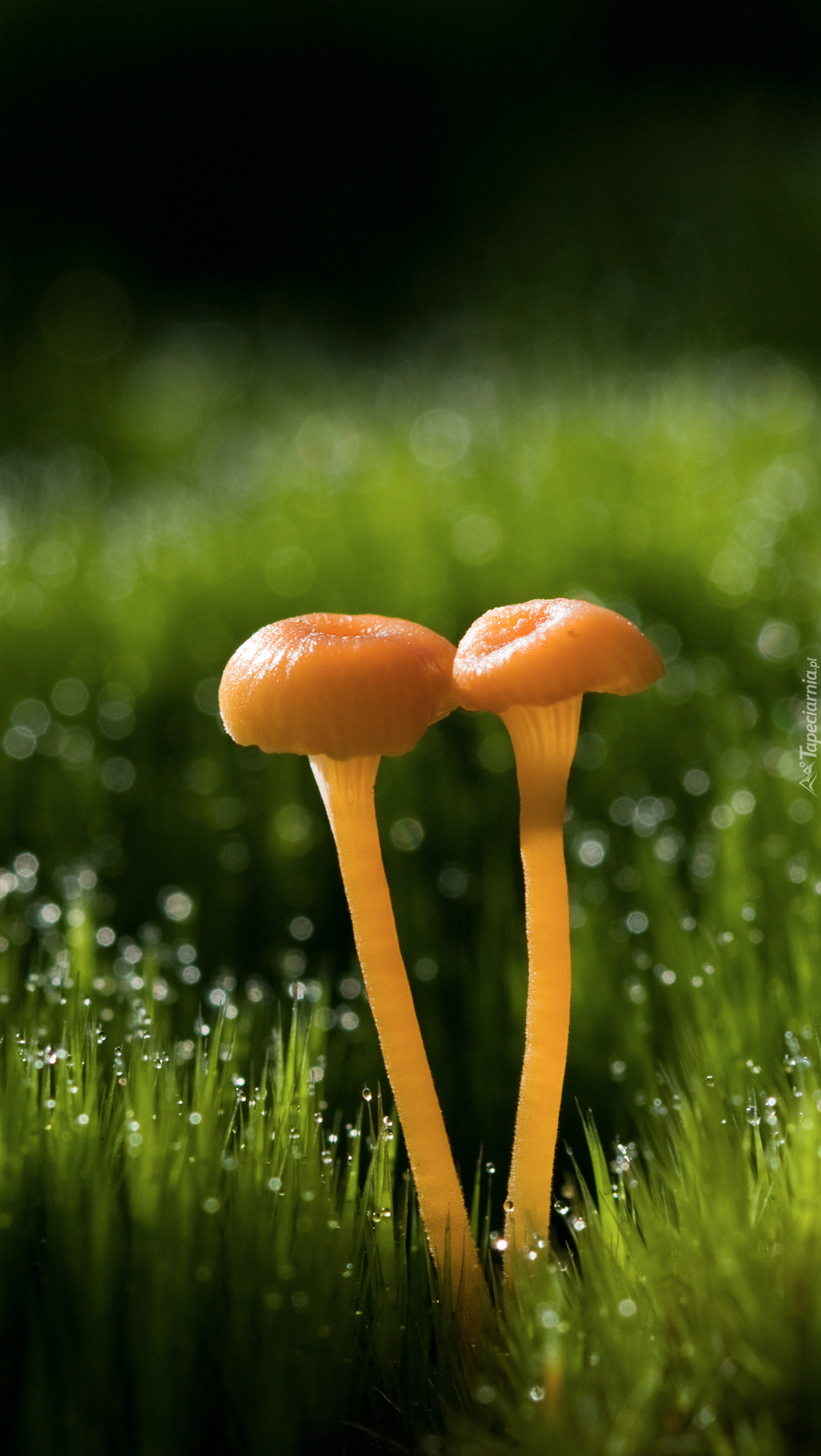 Dwa grzybki w mokrej od rosy trawie