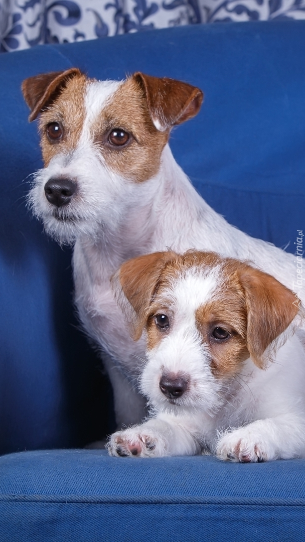 Dwa Jack Russell terriery