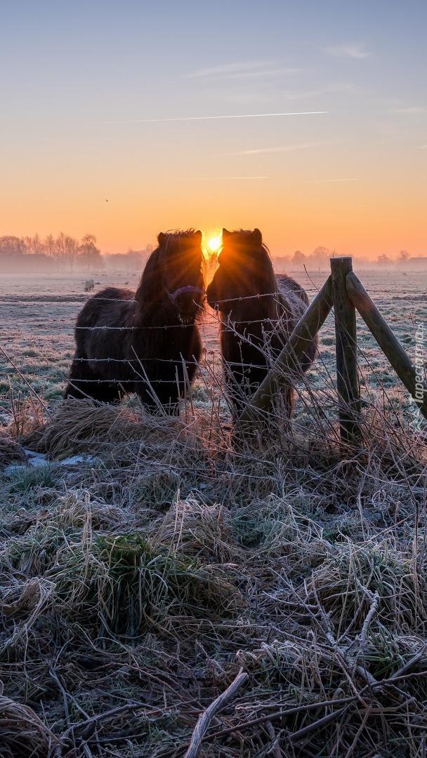 Dwa konie na oszronionej trawie
