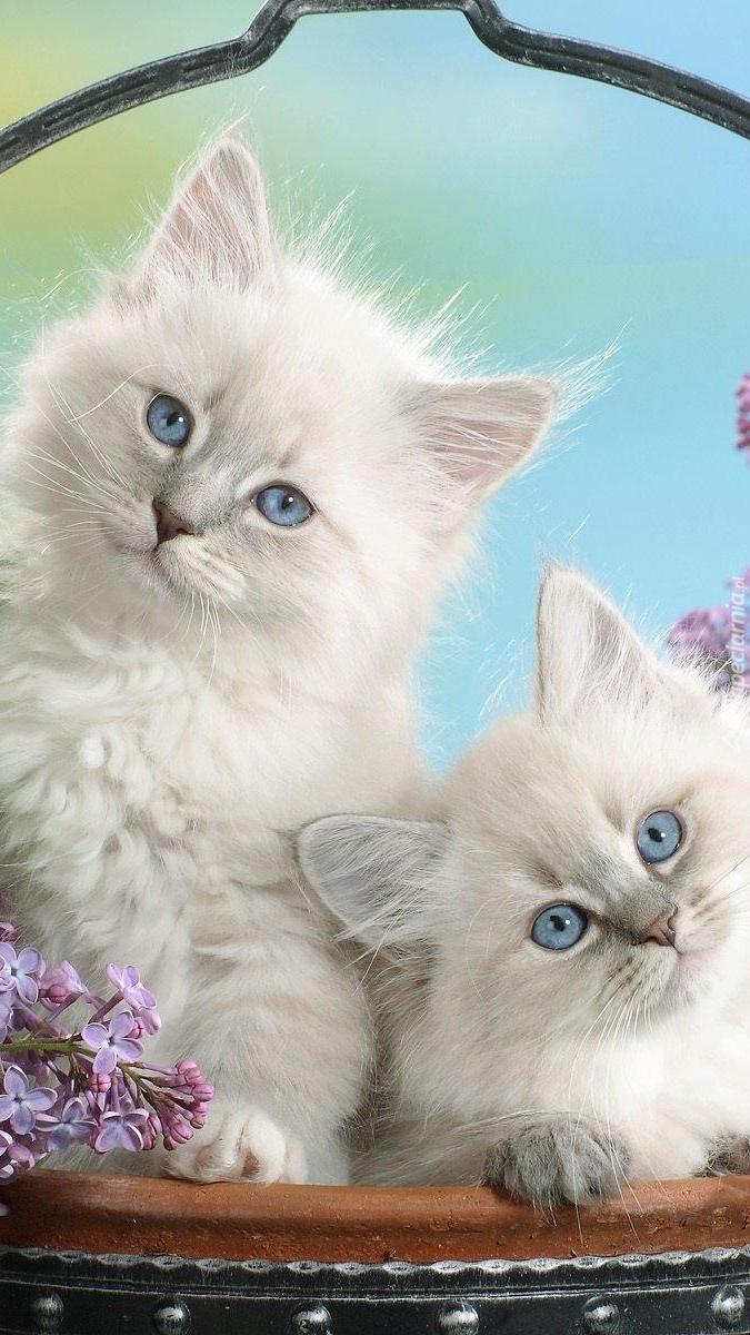 Dwa kotki w koszyku