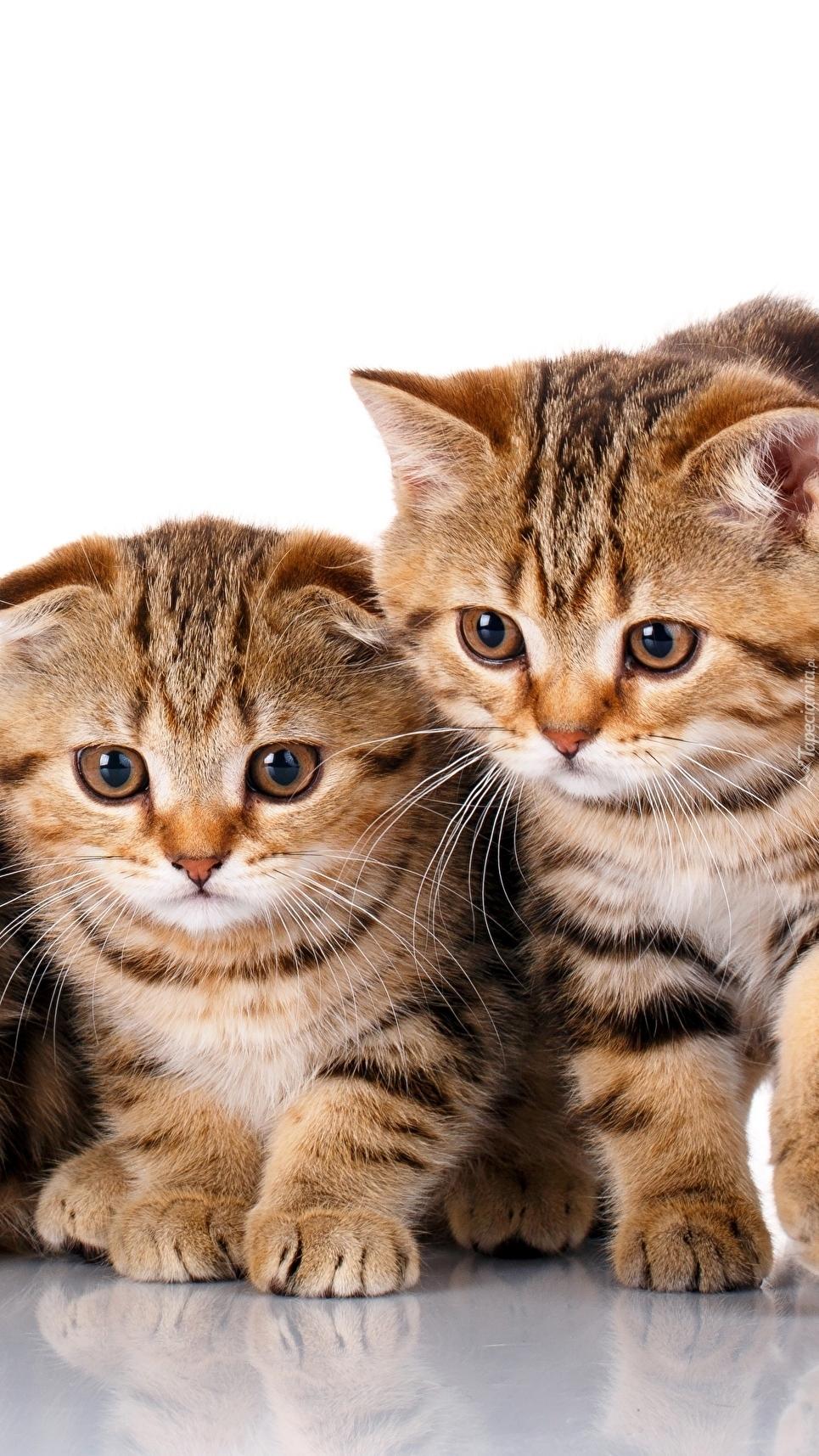Dwa koty szkockie zwisłouchy