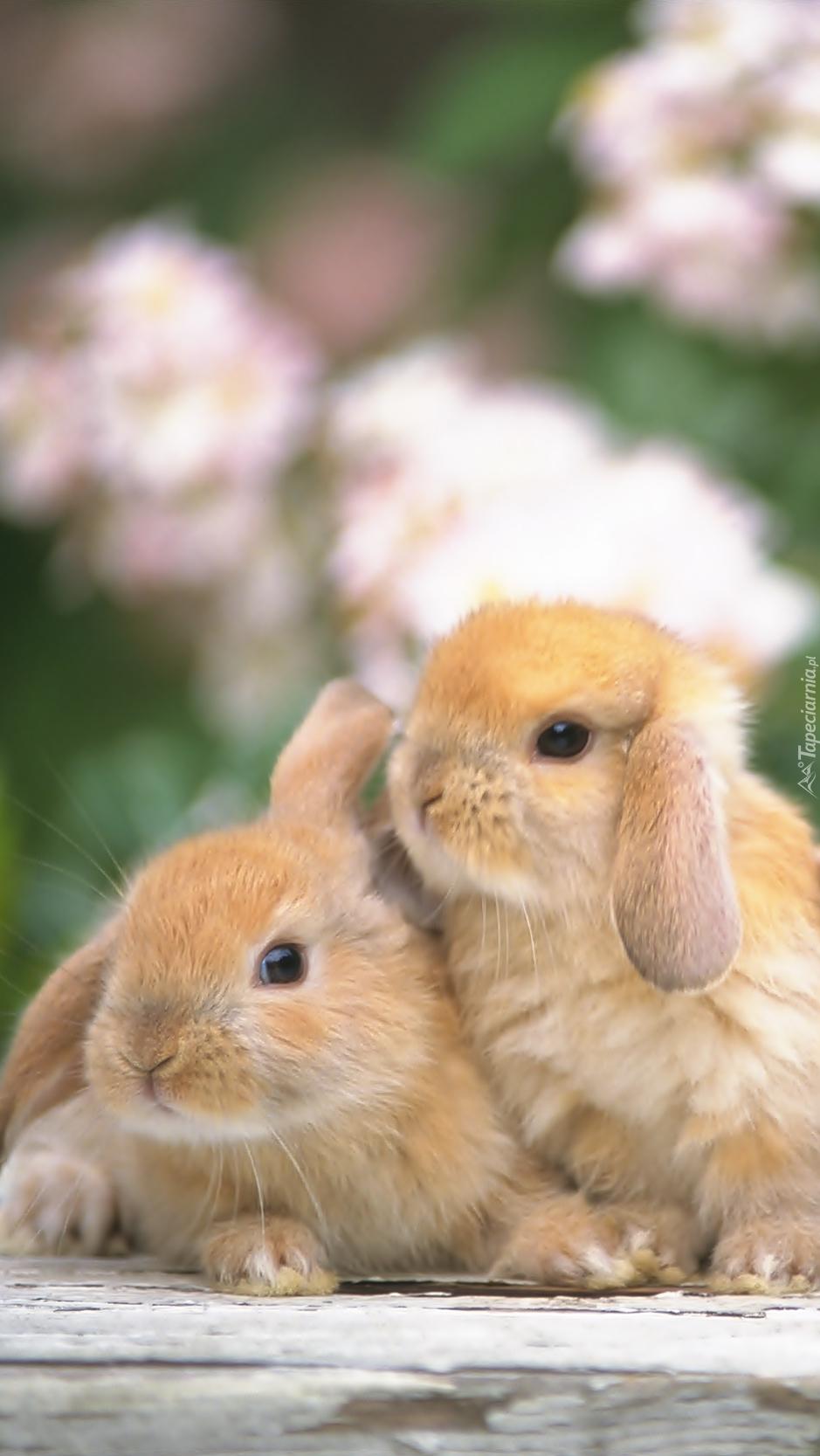 Dwa króliczki