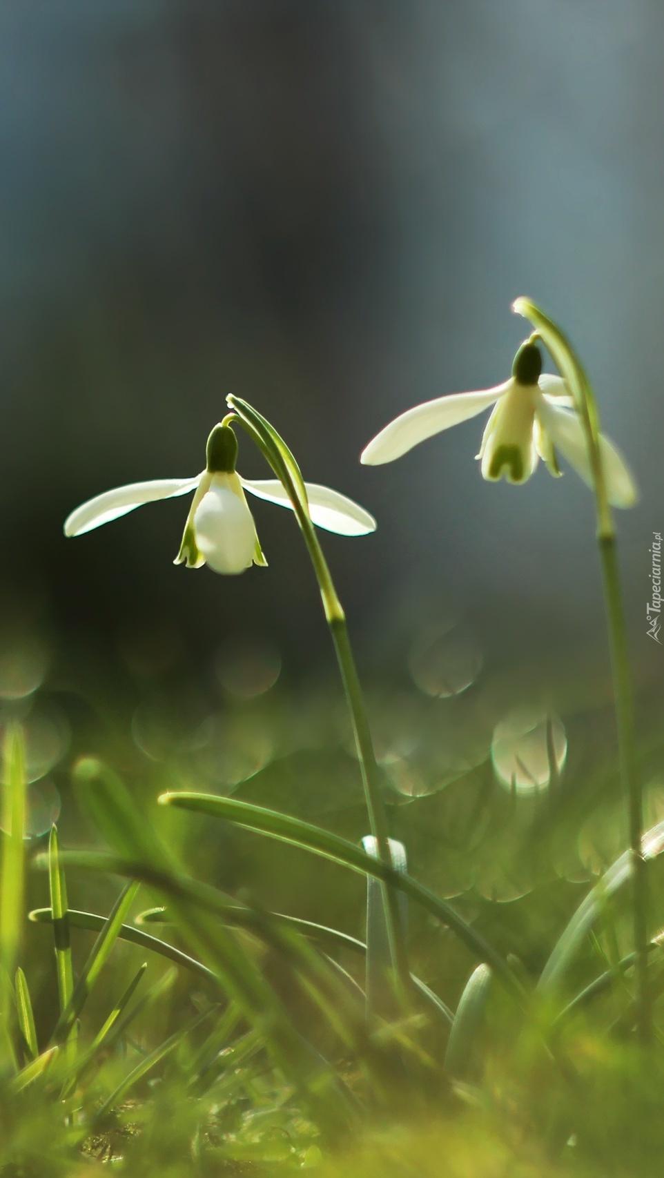 Dwa kwitnące przebiśniegi