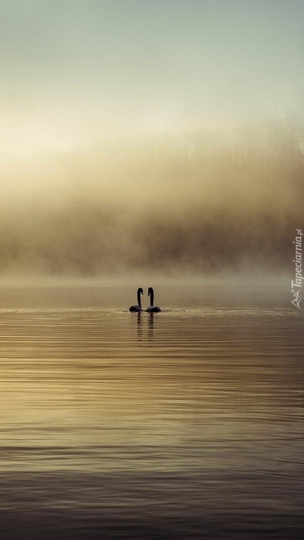 Dwa łabędzie płynące po zamglonym jeziorze